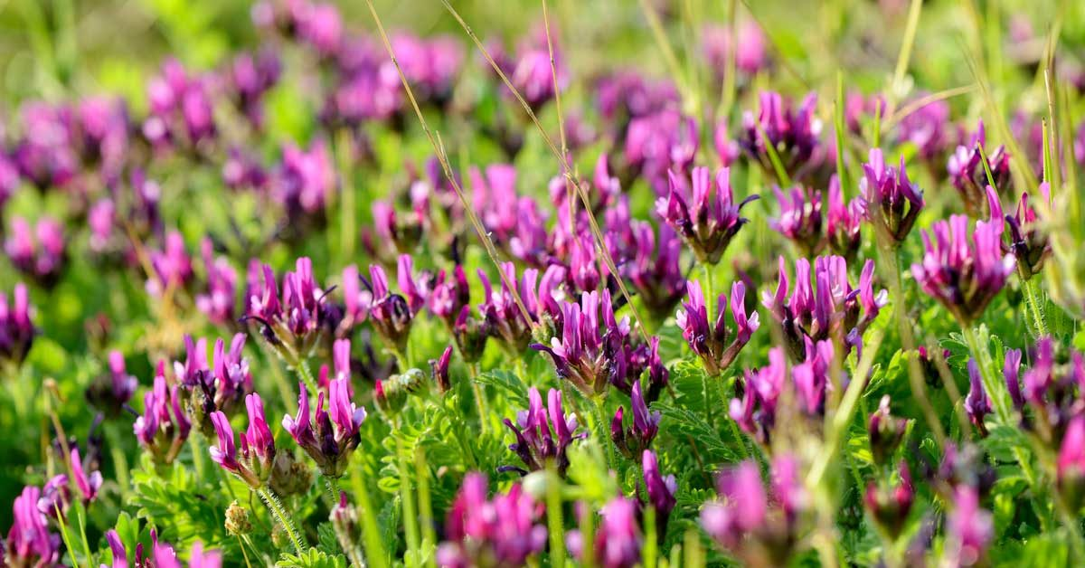 astragalus benefits for skin