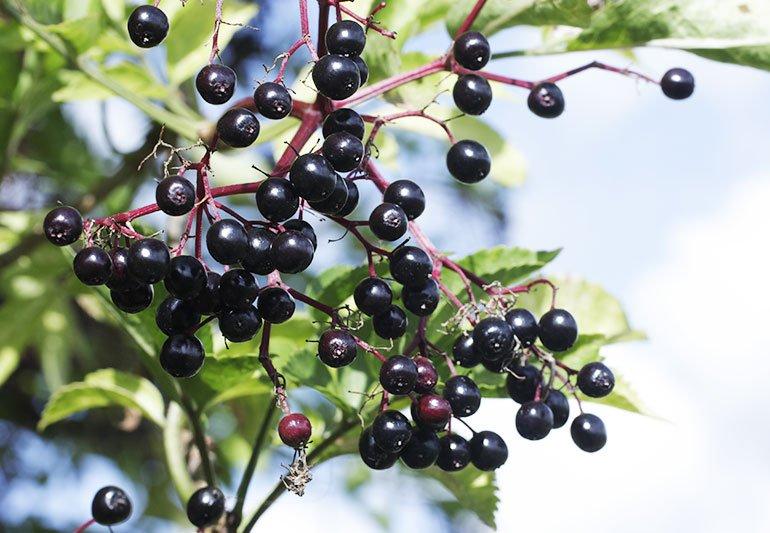 elderberry and astragalus